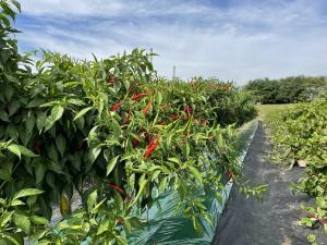 충남 재배 가능 아열대 작물 찾는다